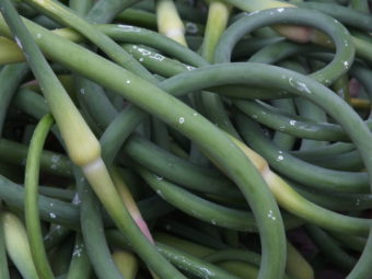 Recently harvested garlic scapes.