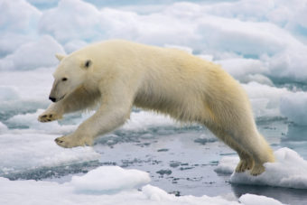 Polar bear jumping on fast ice. Creative Commons photo by Arturo de Frias Marques)
