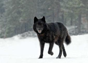 Romeo the wolf. (Photo courtesy Nick Jans)