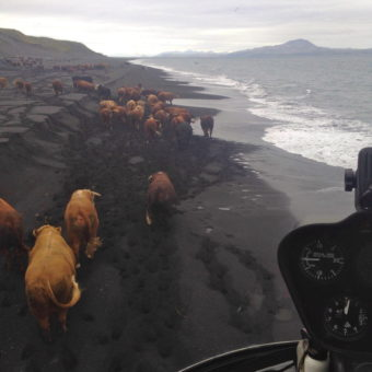Herding cattle by helicopter in the Aleutians. (Photo courtesy of Curtis Norman)
