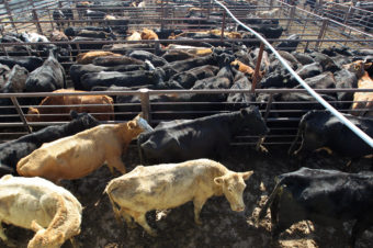 The debate about sustainable diets has focused on meat production, which requires lots of land and water to grow grain to feed livestock. It also contributes to methane emissions. But the cabinet secretaries with final authority say the 2015 dietary guidelines won't include sustainability goals. David McNew/Getty Images