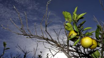 Oranges ripen in a grove in Plant City, Fla. Citrus greening, a disease spread by a tiny insect that ruins oranges and eventually kills the trees, has put the future of the state's $10 billion citrus industry in doubt. Chris O'Meara/AP