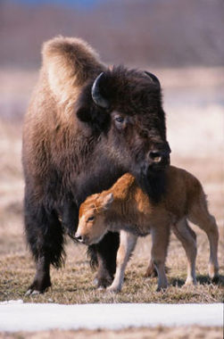 Wood Bison in Portage game facility. (Photo courtesy of Alaska Department of Fish and Game)