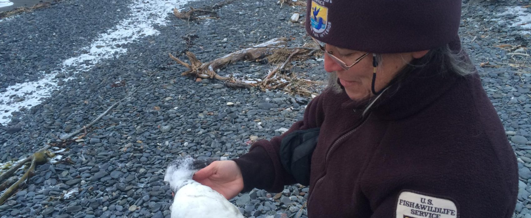Wildlife Biologist Leslie Slater holds one of about a dozen dead Common Murres found along a short stretch of beach at the Spit in Homer Tuesday, Dec. 22. (Photo by Daysha Eaton/KBBI)