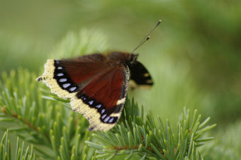 Mourning Cloak Butterfly pausing on Spruce bough in Southcentral Alaska. (Creative Commons photo by Up North Photos)