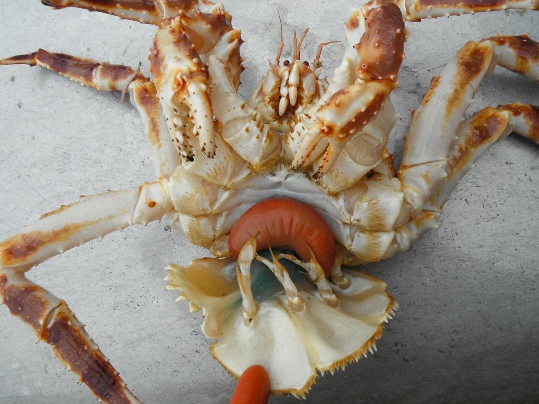 parasite turns alaska king crabs into zombies