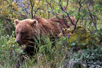 brown bear at Crescent Lake in brush