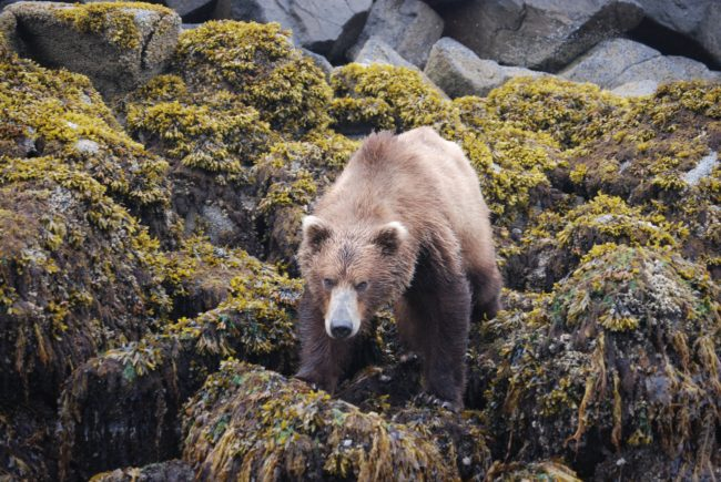brown bear on shoreline in Katmai area