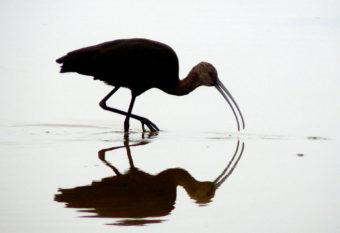 A white-faced ibis.