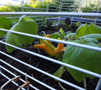 Early planted squash and last year's potatoes grow under an old rabbit cage used as protection from hungry birds and porcupines