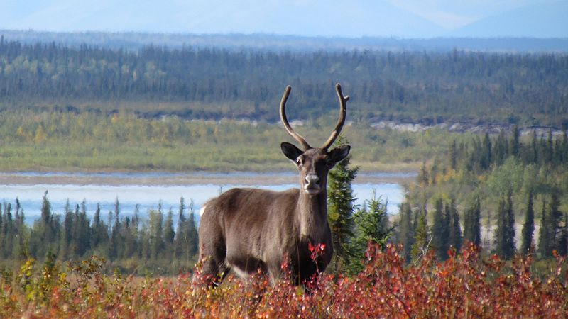 Thousands of caribou like this one traditionally cross the Kobuk River near Onion Portage in the fall. People have been harvesting caribou near this spot for about 9000 years. (Public Domain photo by the National Park Service)
