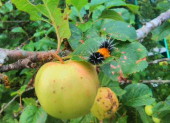 This wooly bear catepillar was spotted roaming an apple tree in Juneau in August 2016.