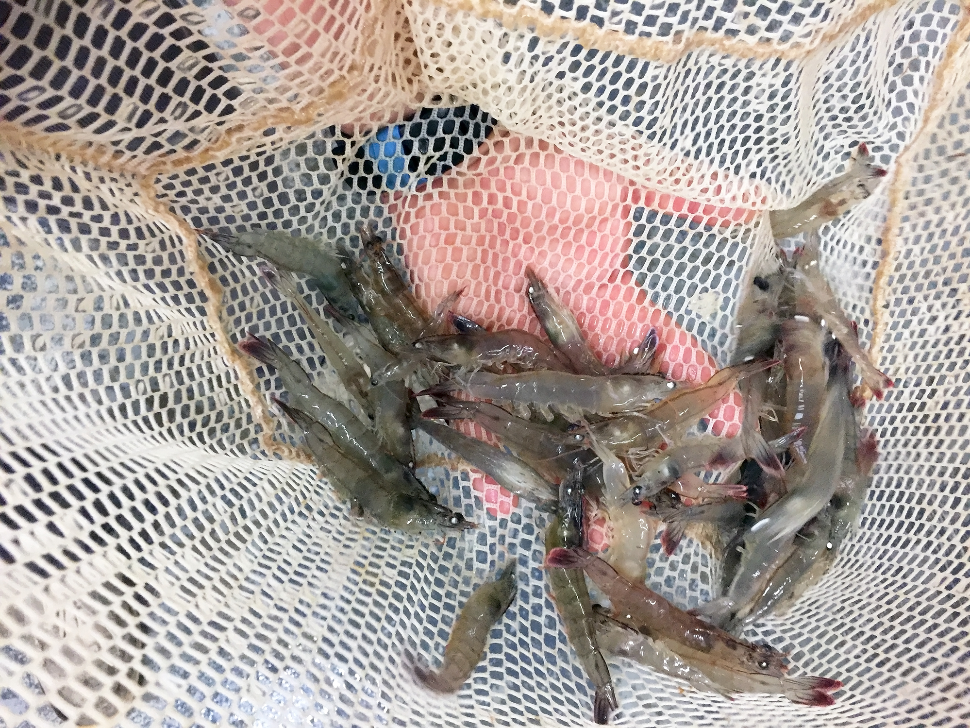 Shrimp grown in tanks make a splash, coming to a market ... - photo#47