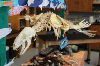 Students with Sitka Sound Science Center's summer camp week recently finished assembling the skeleton of a California sea lion. (Katherine Rose, KCAW)
