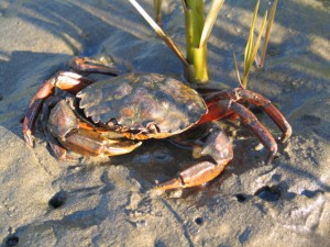 European Green Crab.