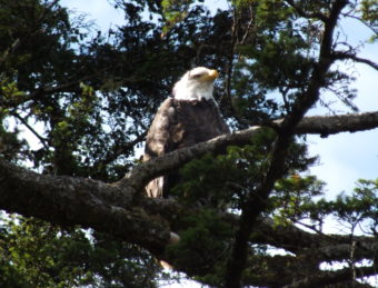 I see you - An adult eagle watches over its fledgling from a nearby tree.