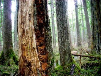A fire left its mark on this Tongass National Forest tree trunk, as seen in 2008.