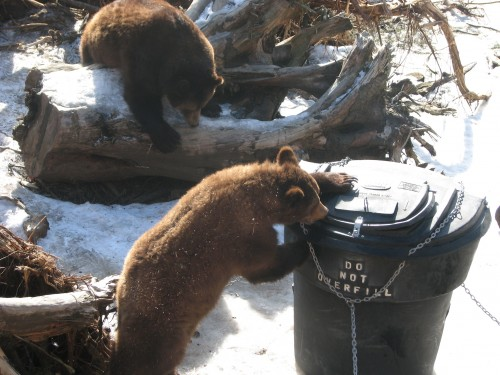 In this picture from Sitka taken in 2011, bears try getting into garbage cans. The Sitka Police Department urged residents to keep their garbage indoors until the day of pickup. (Photo by KCAW).