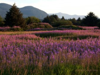 "Fireweed blooms near Juneau International Airport on July 17, 2016. Many locals call this area ""the Field of Fireweed."" (Photo courtesy Skip Gray)"