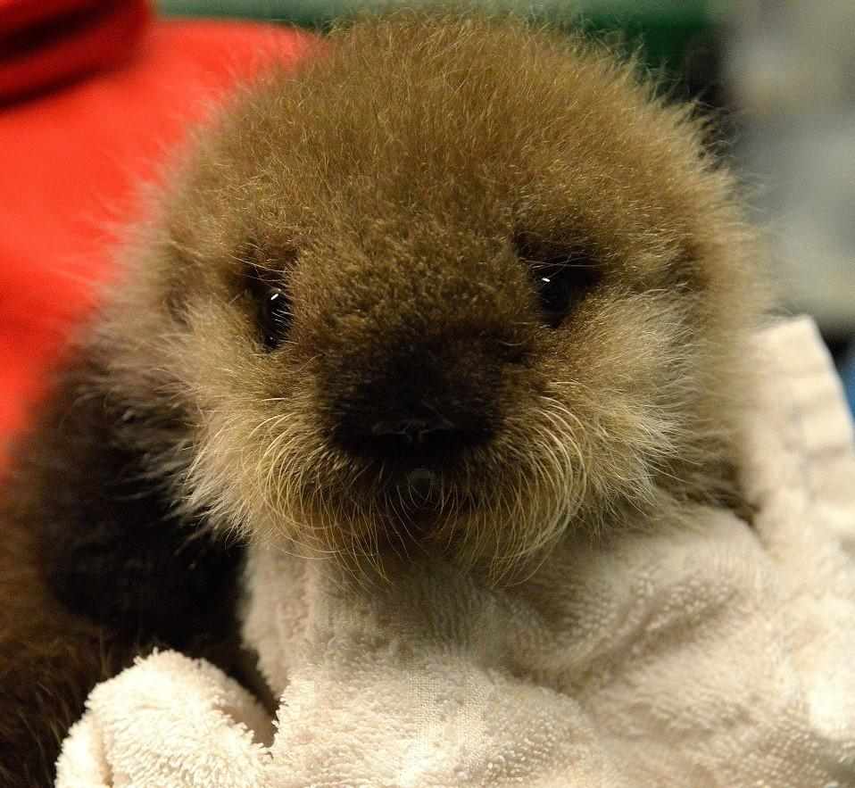 options dwindle for orphan sea otters