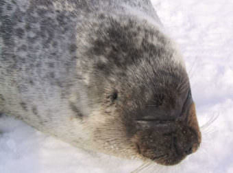 A ringed seal. (Public domain photo by Lee Cooper)
