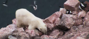 Screen capture of a video produced by the Arctic Council's Conservation of Arctic Flora and Fauna working group shows a polar bear raiding the cliff nests of murres.