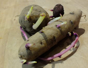 Three different varieties of seed potatoes await getting split up and planted.