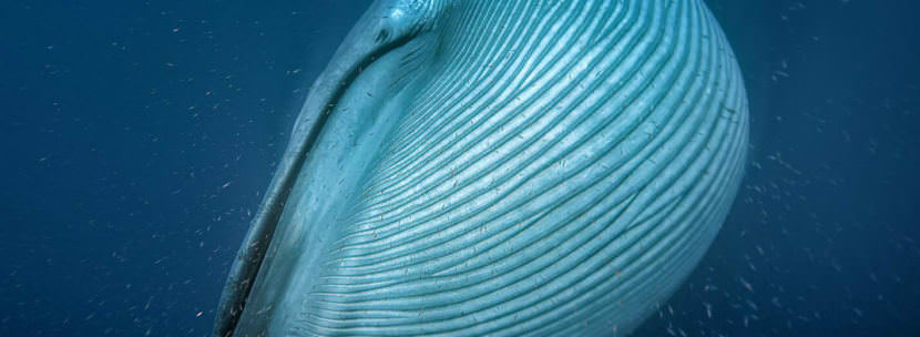 A blue whale, the largest animal on the planet, engulfs krill off the coast of California. (Photo courtesy Silverback Films/BBC/Proceedings of the Royal Society B)