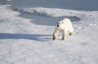 Faster-moving sea ice brought on my rapid global warming is added to the physiological stress of Alaska's polar bears, a new study says. Creative Commons photo by