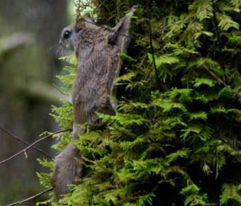 Humboldt's flying squirrel in Mendocino County, Calif.