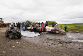 The whale killed in the Kuskokwim River on Thursday night is butchered and the meat and blubber distributed to people up and down the river. (Photo by Katie Basile / KYUK)