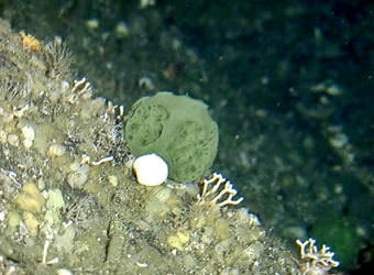 A green sponge found in the waters near Sitka could hold the key to curing pancreatic and ovarian cancer. (Photo courtesy NOAA Fisheries)