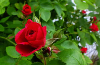 Horstmann roses bloom in the KTOO Agricultural Test Station and Garden of Science.