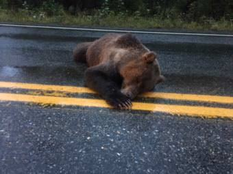 Troopers located a brown bear that had been shot and killed near the Haines Highway last week. The animal was found in the middle of the road near mile 17. (Photo courtesy of Trent Chwialkowski)