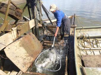 Barb Carlson pulls fish from the live box of her fish wheel near Sleetmute. (Photo by Anna Rose MacArthur/KYUK)