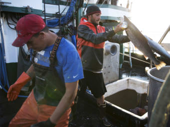 Aboard the fishing vessel Marathon, Nicholas Cooke, left, and Nathan Cultee unload 16 farm-raised Atlantic salmon into a container on Tuesday in Bellingham, Wash. (Photo by Megan Farmer /KUOW)