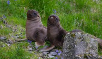 Sea lion pups rest on an Aleutian Beach. (Photo courtesy NOAA)