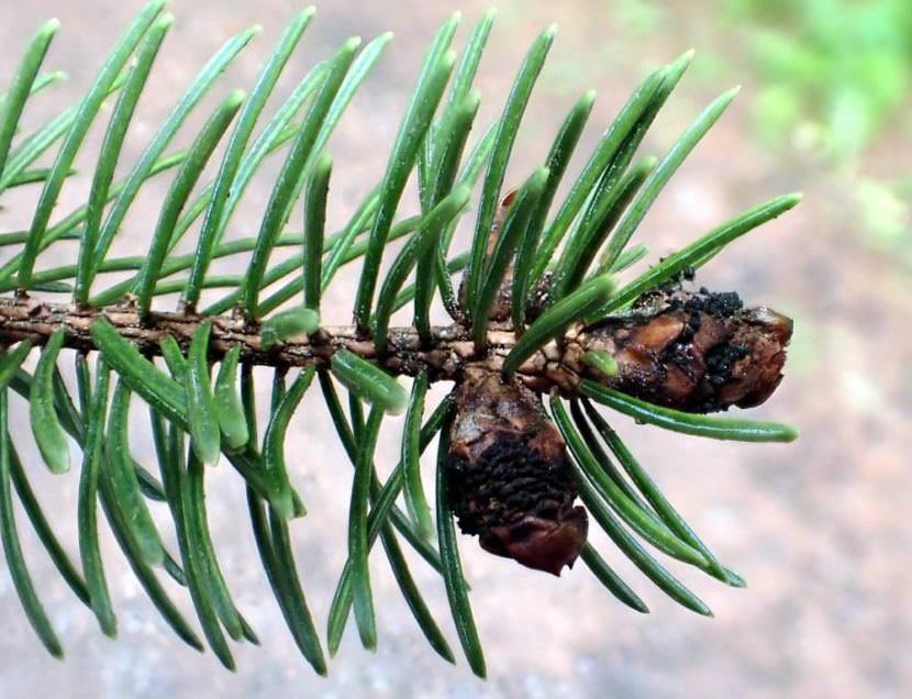 In its outward appearance, Dichomera resembles Gemmamyces: Same blackening of the spruce bud. The difference? Alaskan trees are naturally resistant to Dichomera.