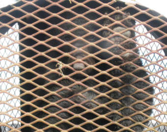 A black bear was captured near early this month and moved to Farragut Bay on the mainland north of Petersburg. (Photo courtesy of Alaska Department of Fish and Game)