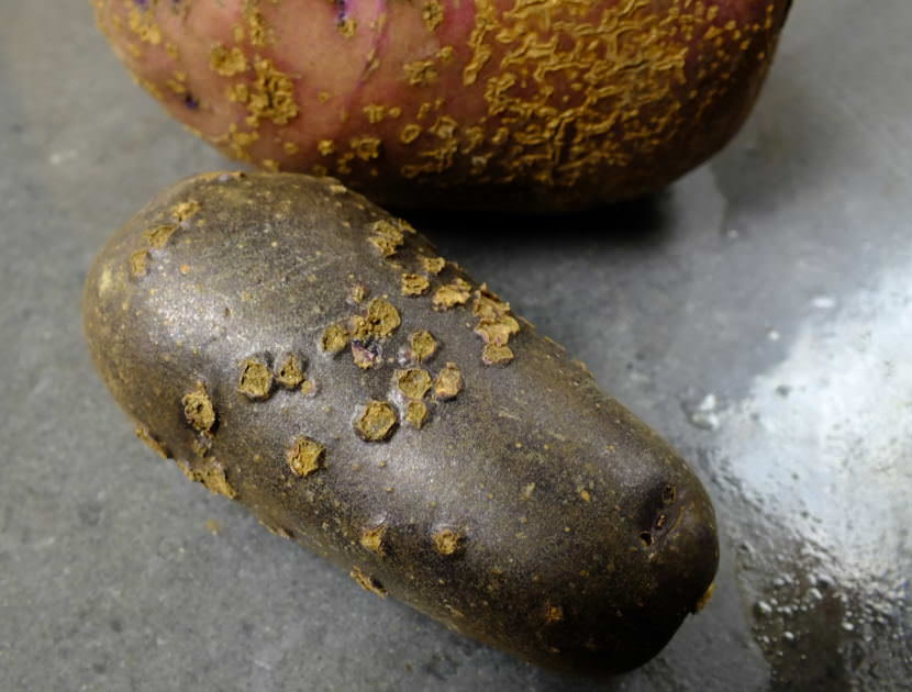 Master Gardener Ed Buyarski harvested these potatoes of the Caribe and Magic Molly varieties which suffered from potato scab. (Photo by Matt Miller/KTOO)