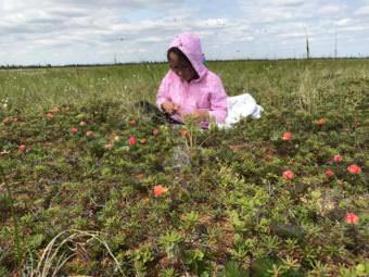 Dannika Wassillie harvests salmonberries. (Photo by Jeff Bringhurst)