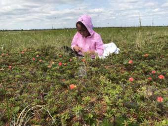 Dannika Wassillie harvests salmonberries. (Photo by Jeff Bringhurst)