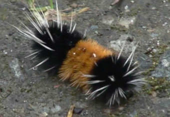 Screen capture of a video of a banded woolly bear caterpillar. (Courtesy 360North television)