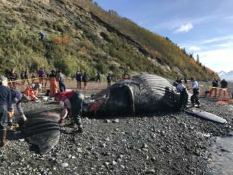 Biologists and veterinarians work Tuesday, Sept. 25, 2017, to cut blubber off a young humpback whale that washed up on a popular beach in Anchorage.