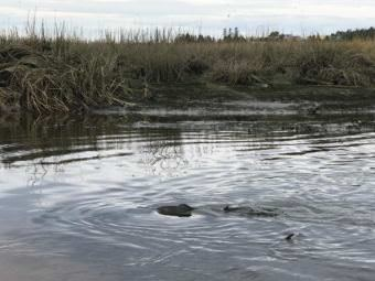 Pink salmon swim around in Beluga Slough. (Photo by Aaron Bolton/KBBI)