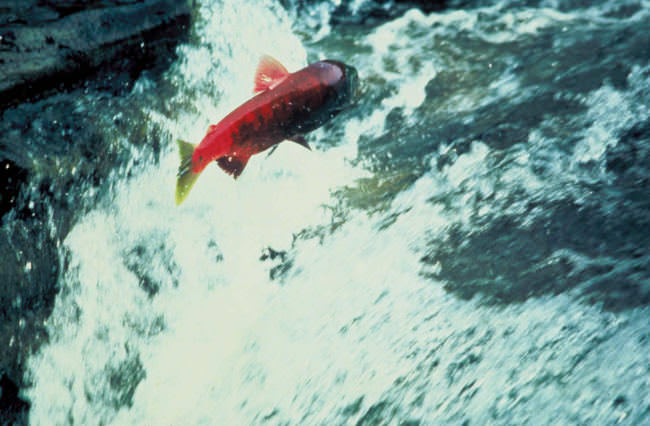 Alaska_salmon_jumping_out_of_water