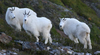 Biologists now have research-based models to predict critical mountain goat habitat in the Chilkat Valley. (Photo courtesy Alaska Department of Fish and Game)