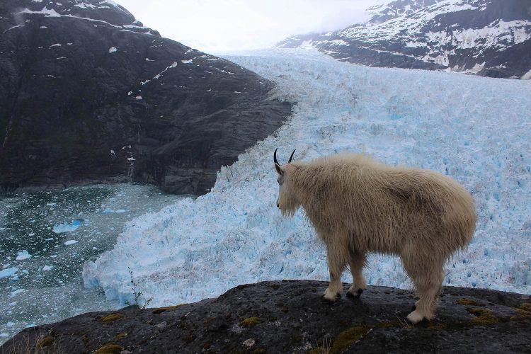 Time-lapse cameras caught this mountain goat gazing at the LeConte Glacier terminus. (Photo courtesy of Christian Kienholz, University of Alaska Southeast)
