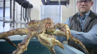An adult male red king crab in Bob Foy's Kodiak laboratory. (Photo by Eric Keto / Alaska's Energy Desk)