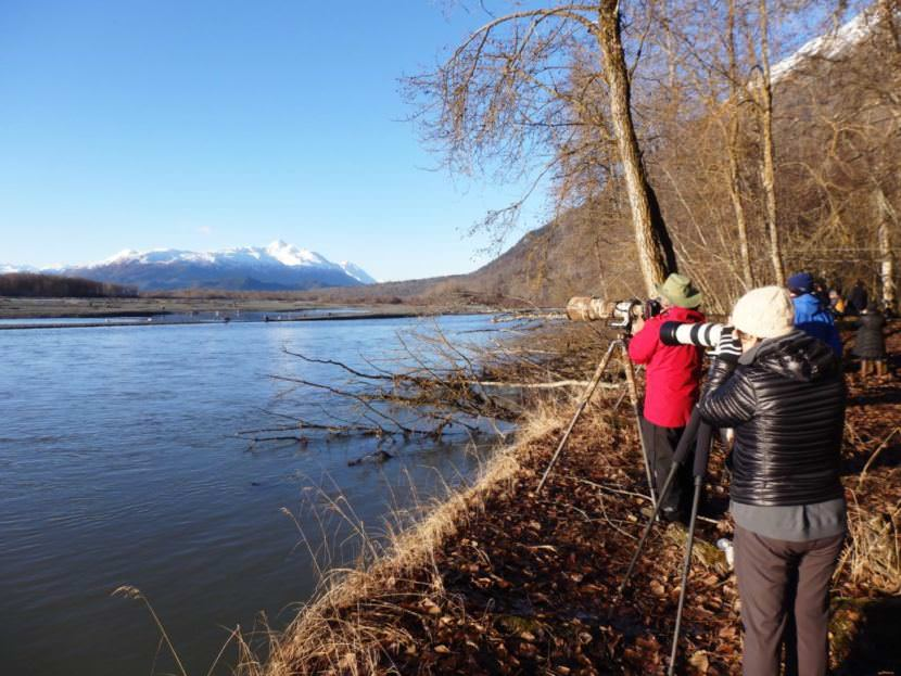 Photographers take pictures of eagles feeding on salmon in the Chilkat River. (Photo by Emily Files/KHNS)